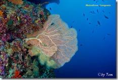 Malediven Gorgonien